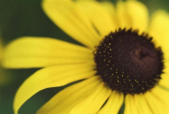 Poezie despre floarea soarelui