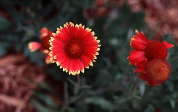 De Florii