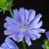 Albastrele. Florile verii